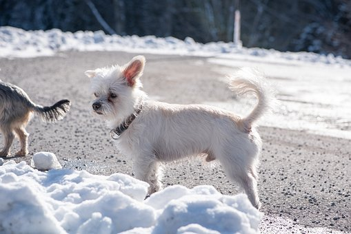 Dog, White, Out, Winter, Snow, Spout, Free, Small Dog