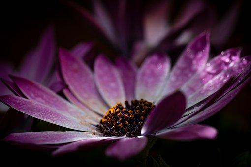 Osteospermum, Flower, Purple, Violet, Plant, Flowers