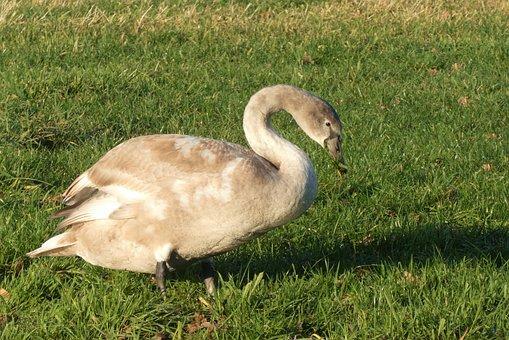 Swan, Cygnet, Grayscale, Feathers, Plumage, Waterfowl