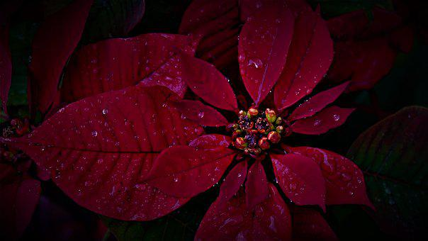 Poinsettia, Plant, Flower, Red, Beauty, Nature, January