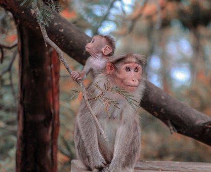 Monkey, Looks, Primate, Look, Mammal, Nature, Animal