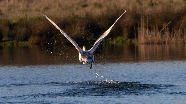 Swan Taking Off, Swan, Sunrise, Riverbank, River Grass