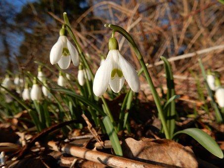 Snowdrop, Winter, Flower, January, White, Forest, Snow