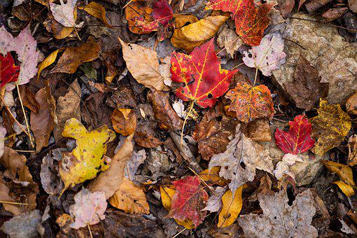 Leaves, Fall, Wet, Forest, Maple, Color