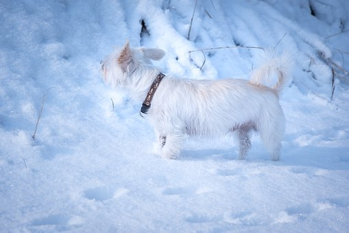 Dog, White, Small, Winter, Snow, Out, Spout, Free, Cold