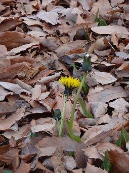 Dandelion, Dead Leaves, Winter