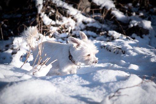 Dog, White, Winter, Snow, Out, Spout, Free, Maltese