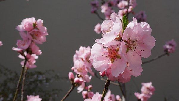 Almond Tree, Almond Blossom, Tree
