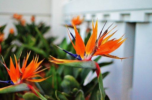 Bird Of Paradise Flower, Flowers, Exotic