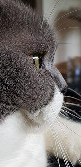 Cat, Wisker, Eye, Cateye, Britisch Shorthair, Grey
