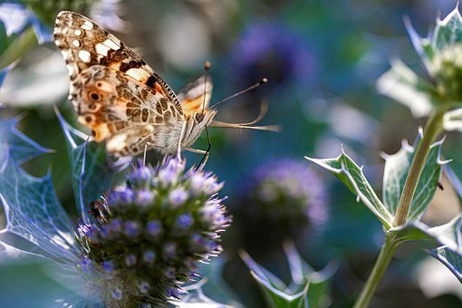 Butterfly, Nature, Thistle, Violet, Insects, Flower