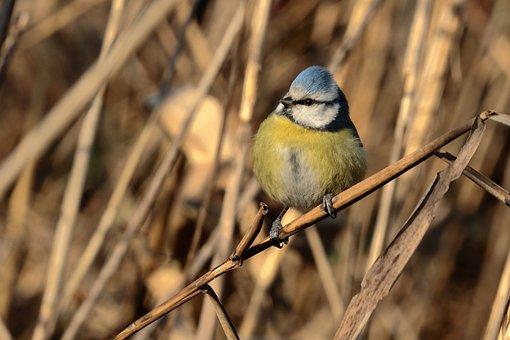 Blue Tit, Canneto, Feathers, Bird