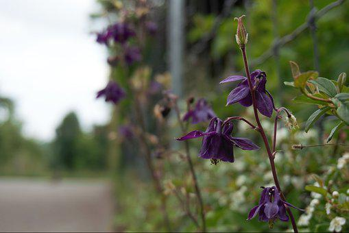 Columbine, Flowers, Roadside, Violet, Green