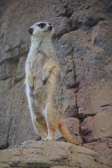 Meerkat, Animal, Animal World, Cute, Nature, Zoo, Fur