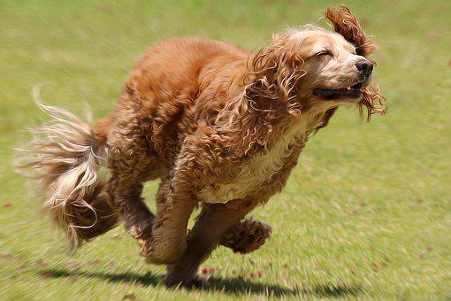 Dog, Run, Pet, Cute, Active, Happy, Play