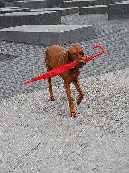 Red, Gray, Berlin, Snout, Umbrella, Sweet, Dog