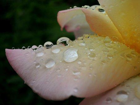 Macro, Drops, Rose After Rain