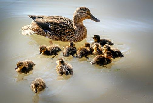 Duck, Ducklings, Water, Lake, Chicks
