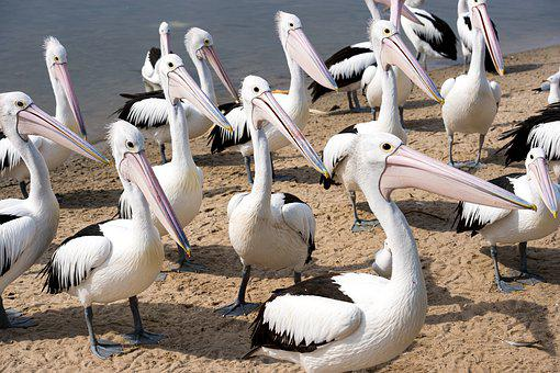 Pelicans, Group, Beaks, Waiting, Food, Australia, Birds
