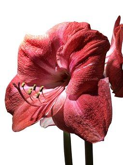 Blume, Blüte, Pflanze, Rittersporn, Amaryllis, Frühling