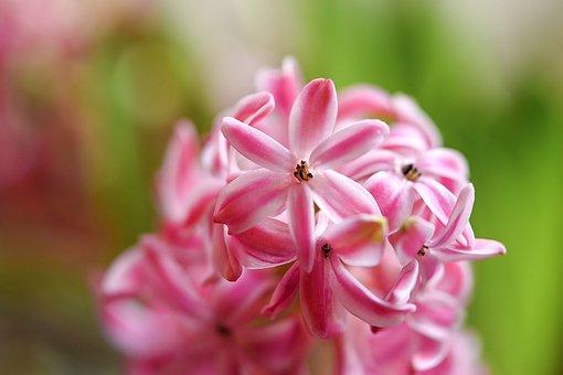 Hyacinth, Flower, Frühlingsanfang, Fragrant Flower