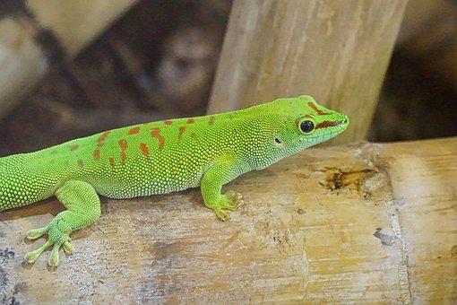 Gecko, Green, Terrarium, Terrarium Animals, Reptile