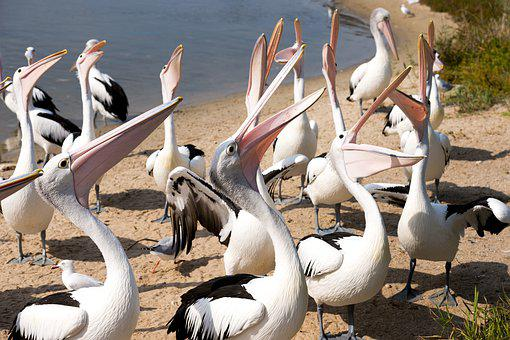 Pelicans, Group, Beaks, Open, Waiting, Food, Australia