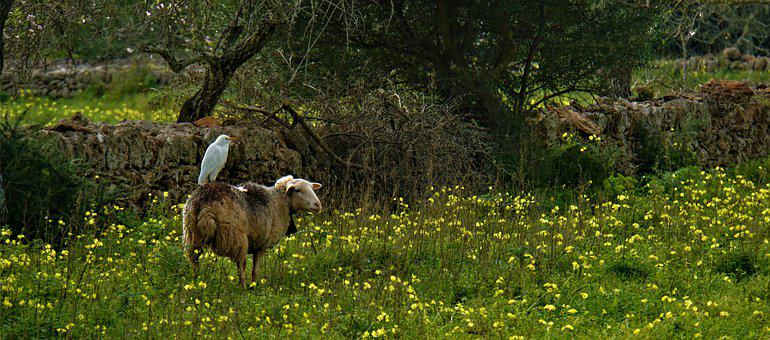 Bird On The Sheep, Nature, Meadow, Green, Juicy