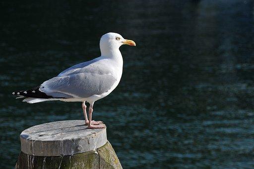 Seagull, Bird, Wing, Freedom, Animal, Water, Nature