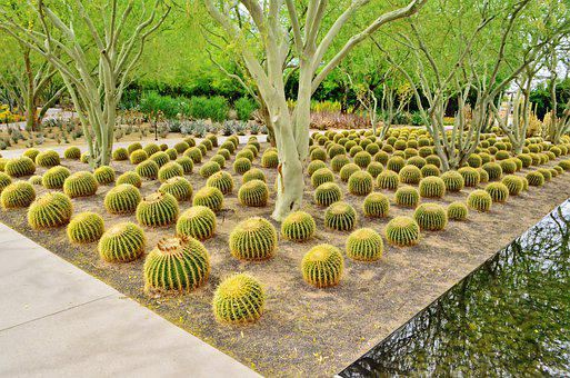 Barrel Cactus, Cacti, Palm Spings