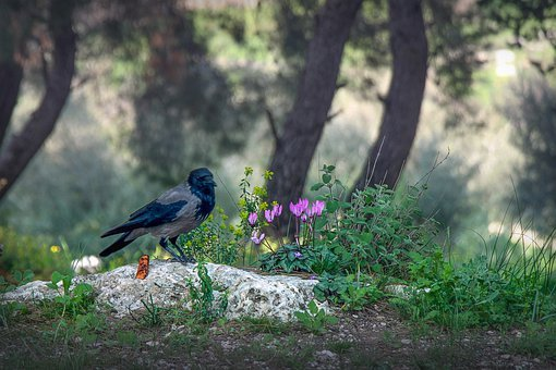 Israel, Cyclamen, Spring, Raven, Nature, Park