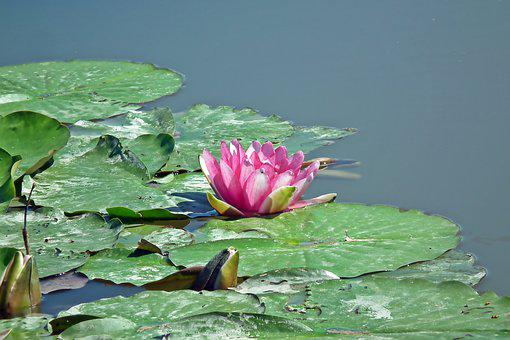Water Lily, Flowers, Water Lilies, Water, Pink, Plants