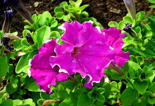 Petunia, Flower, Summer, Garden, Plant, Pink, Balcony