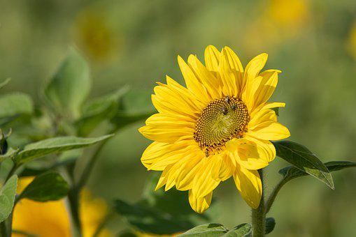 Sunflower, Sun, Summer, Yellow, Nature, Bloom, Flower