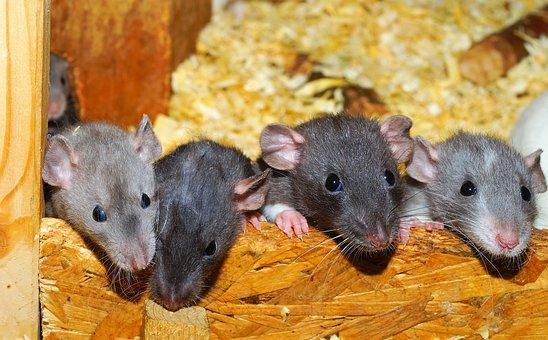 Rat, Color Rats, Young Animals, Curious, Tame, Dear