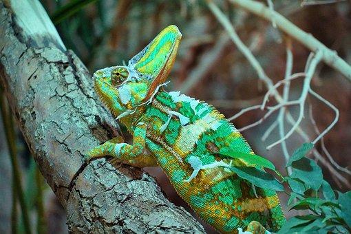 Chameleon, Green, Terrarium, Terrarium Animals, Reptile