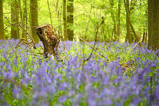 Wood, Trees, Forest, Bluebells, Nature