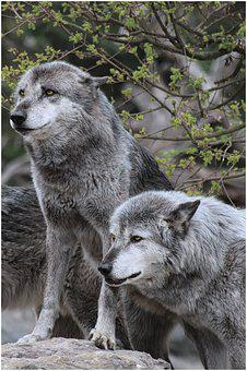 Wolf, Wolves, Grey, Attention, Watch, Timber Wolves