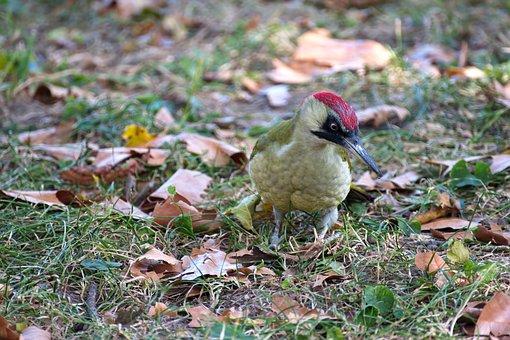 Bird, Woodpecker, Plumage, Coloring