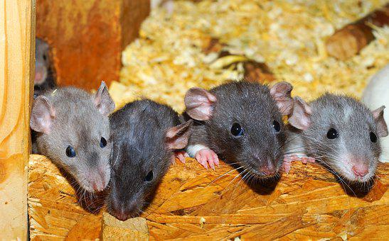 Rat, Color Rats, Young Animals, Curious