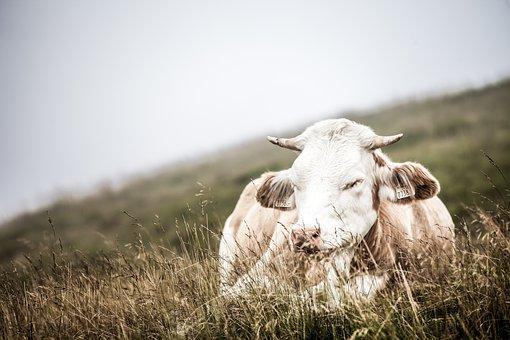 Cow, Austrian, Austria, Mountains, Nature, Alm, Cows