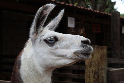 Llama, Selfie, Animal, Zoo, Funny