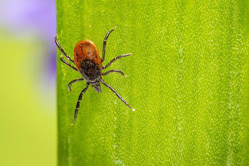 Castor Bean Tick, Insect, Spider, Nature, Animal