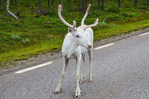 Norway, Animals, Nature, Reindeer, View