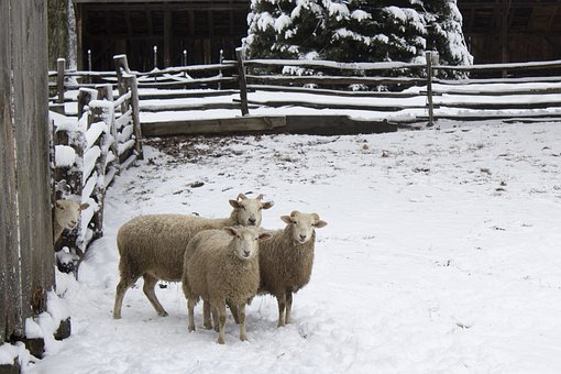Sheep, Winter, Snow, Animals, Staring, New England
