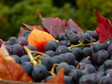 Grapes, Wine, Read, Autumn, Fruit, Winegrowing