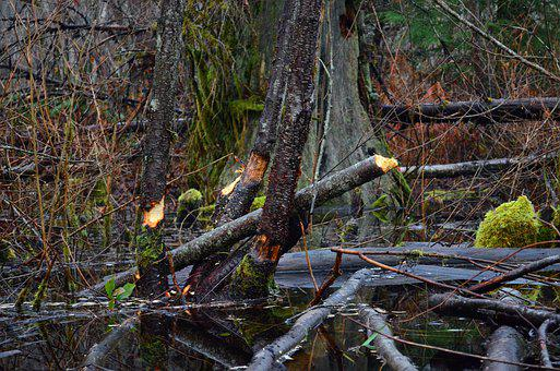 Pond, Trees, Beaver Dam, Nature, Wet, Swamp