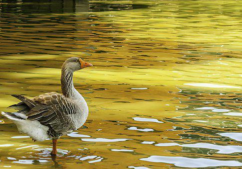 Goose, Geese, Duck, Poultry, Nature, Bill, Birds