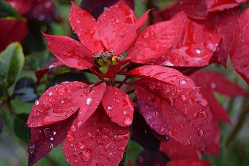 Flower, Good Night, Red, Water, Garden