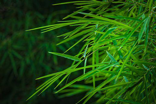 Bamboo Leaves, Bamboo Groves, Foliage, Leafage, Green